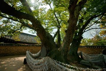 20090807 경북 안동시 풍천면 하회마을 삼신목 느티나무 최용부촬영 낙동강유역의노거수 전시사진