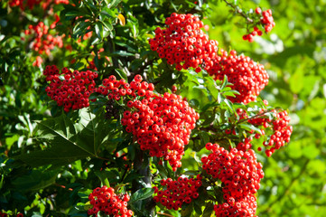 cluster of red berries of a firethorn shrub