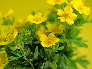 Blühendes Fingerkraut, Potentilla fruticosa