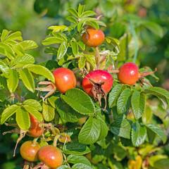 Kartoffelrose, Rosa rugosa, mit Früchten