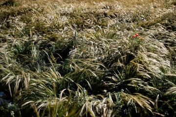 campi e papaveri