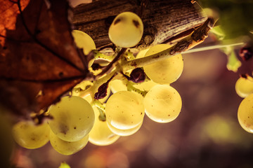 chardonnay raisin en macro Fototapete