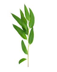 Eucalyptus leaves isolated on white background.