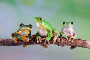 Foto op Canvas Kikker Australian white tree frog on leaves, dumpy frog on branch, Australian white tree frog sitting on flowes
