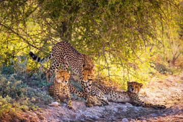 Three cheetahs in the Etosha National Park