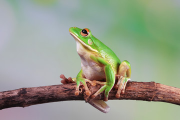 Wall Mural - Australian white tree frog on leaves, dumpy frog on branch,  Australian white tree frog sitting on flowes
