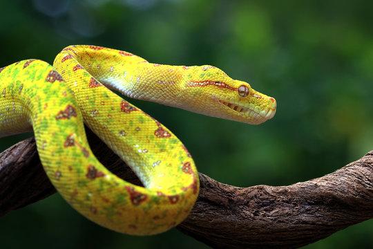 Yellow tree python snake on branch, snake, reptile, reptiles closeup