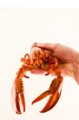 Delicious freshly steamed lobster , digital image picture