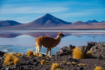 Photo sur Aluminium Lama Laguna Colorada Bolivien