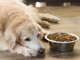Sad golden retriever dog get bored of food.