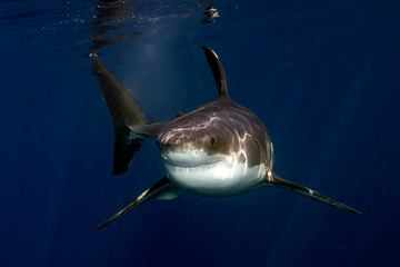 Great White shark ready to attack from deep blue