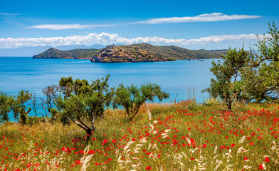 pring in Crete - poppies, olives against the background of the sea and the fortress of Spinalonga.