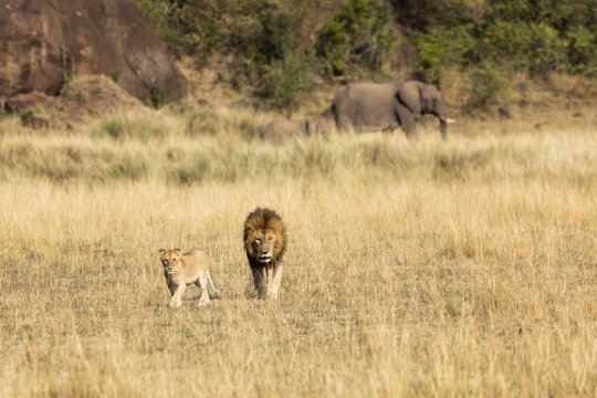 Young adult male lion and cub in the Masai Mara