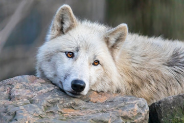 White Hudson Bay wolf beautiful view