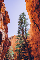 Fond de hotte en verre imprimé Brique Bryce Canyon, Utah, USA. Single trees
