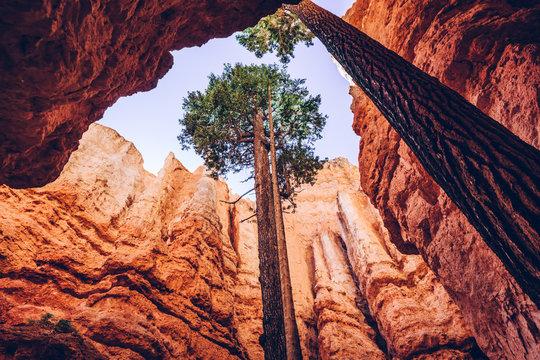 Bryce Canyon, Utah, USA. Single trees