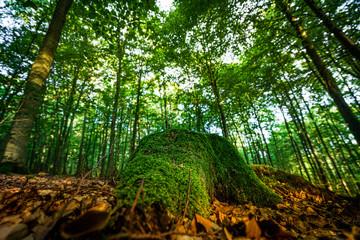 Mit Moos bewachsener Baumstumpf im Wald
