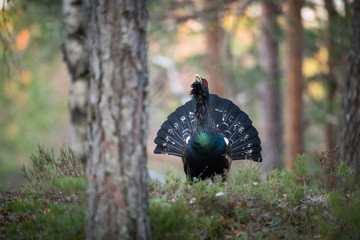 The Western Capercaillie Tetrao urogallus also known as the Wood Grouse Heather Cock or just Capercaillie in the forest is showing off during their lekking season They are in the typical habitat..
