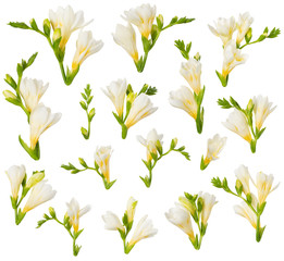 Freesia flowers and buds design elements isolated on white background. Blooming white and yellow freesia cut out for floral invitation card design.