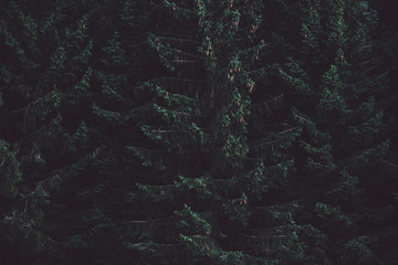 Dark forest, tall old evergreen pines