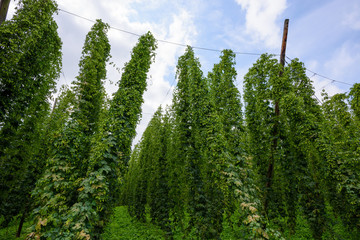 Hop farm field agricultural yard fully grown hops plant vines with cones ready for harvest.