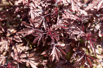 Closeup red Japanese maple leaves. Natural background