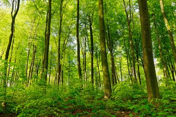 Rotbuchenwald mit Naturverjüngung