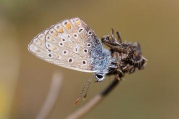 Pequeña mariposa del género Pseudophilotes.