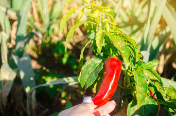 In de dag Hot chili peppers Red hot pepper grows in the field. Growing organic vegetables. Eco-friendly products. Agriculture land and farming. Agro business. Harvest. Harvesting. Selective focus