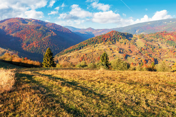 sunny autumn evening scenery in mountains. forest in fall foliage on the hillside. spruce trees behind the grassy meadow. ridge in the distance. bright weather with clouds on the blue sky