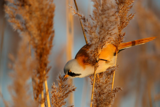 Bearded reedling male eating seeds in the reed in the late afternoon sunlight in wintertime in the Netherlands