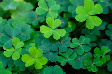 Clover Leaves for Green background with three-leaved shamrocks. st patrick's day background, holiday symbol.