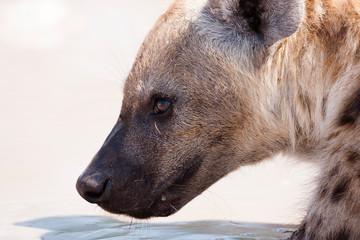 Foto auf Acrylglas Hyane Etosha National Park, Namibia. Wild hyena in habitat.