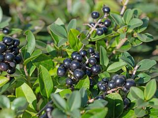 Reife Früchte vom Liguster, Ligustrum