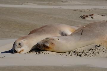 New Zealand female sea lions sleeping, Surat Bay beach, Catlins, New Zealand