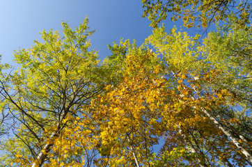 Colorful tree tops by fall season
