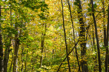 Golden colors in a forest by fall season