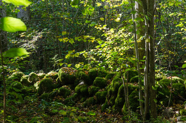 Mossy old dry stone wall in a lush forest