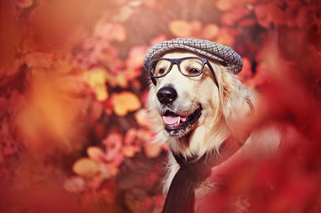 Autumn portrait of a golden retriever wearing hat and glasses