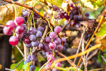 Vineyards in autumn harvest. Ripe grapes in fall.