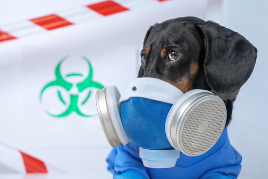 Black and tan cute dachshund dog in a hazardous materials suit with self-contained breathing apparatus in the laboratory. Biohazard warning sign and signal tape. Environmental Protection.