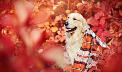 Golder retriever covered with plaid looking to the autumn park