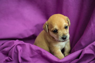Brown puppy in purple fabric