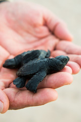 Hand holding a new born sea turtle.