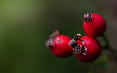 Closeup of three red rosehips in front of green background in autumn