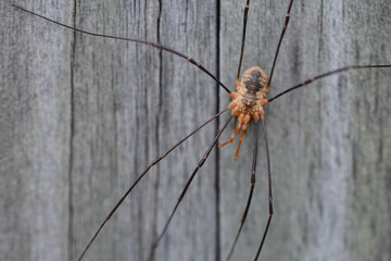 Closeup of a wheat grower spider in front of wooden background
