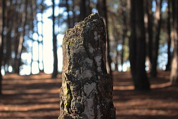 photography of a pine trunk