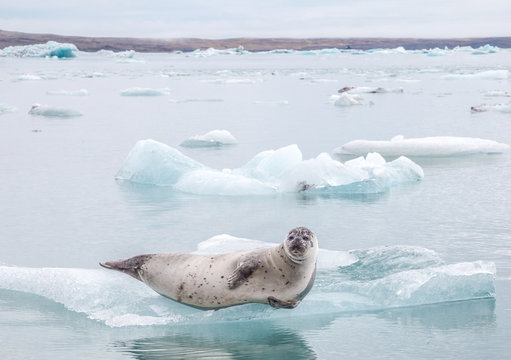 Harbor seal on iceberg in Glacier Lagoon in Iceland