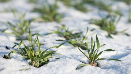 Landwirtschaft - Getreideanbau - Wintergerste im Schnee