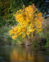 Colourful tree in autumn at lake wulka in burgenland